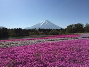 """芝桜まつり・Sibazakura festibal""""Ground pink festival"""""""