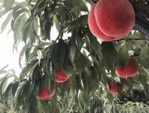 桃の種類について~幸茜~