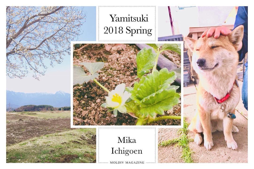 夏イチゴの花と四つ葉ちゃん